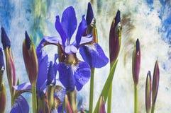 Iris in der Blüte Stockbild