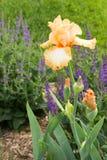 Iris in der Blüte Lizenzfreie Stockfotos