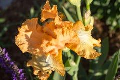 Iris in der Blüte Stockfotografie