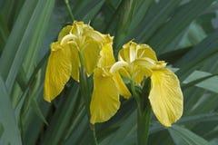 Iris der gelben Flagge Stockfotografie