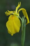 Iris der gelben Flagge Lizenzfreie Stockbilder