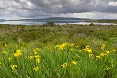 Iris der gelben Flagge mit See im Hintergrund Stockfotografie