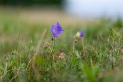 Iris in der Natur stockbild