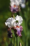 Iris, die in einem Garten, Giardino-dell& x27 blüht; Iris in Florenz Stockfoto