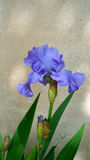 Iris, die im Garten blüht Stockbild
