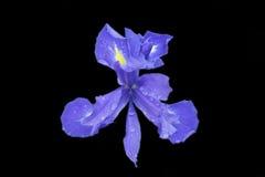 Iris die op zwarte wordt geïsoleerds Royalty-vrije Stock Afbeelding