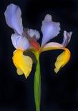 iris doskonały Obrazy Stock