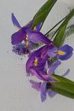 Iris drei Lizenzfreies Stockfoto