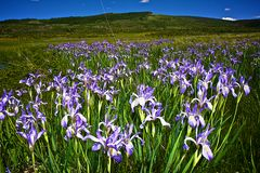 Iris du Wyoming Images stock