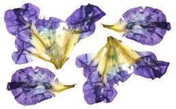 Iris dunkelblaue, purpurrote Perspektive, trockene empfindliche gelbe Blumen Lizenzfreie Stockfotos