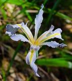 iris dziki Obrazy Stock