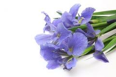Iris in einem weißen Hintergrund Lizenzfreie Stockfotos