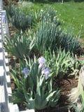 Iris en allium Stock Fotografie
