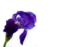 Iris en blanco Fotografía de archivo