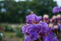Iris en fondo borroso Imagenes de archivo