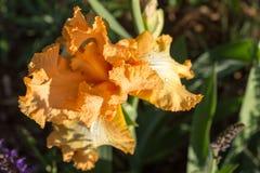 Iris en la floración Fotografía de archivo libre de regalías