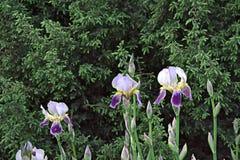 Iris en parc Image stock