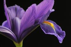 Iris en Regendruppels Stock Afbeelding