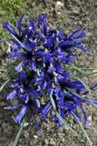Iris enano Imagen de archivo libre de regalías