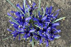 Iris enano Foto de archivo libre de regalías