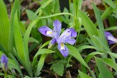 Iris enano con cresta - cristata del iris fotos de archivo libres de regalías