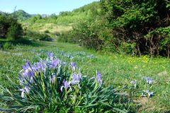 Iris ensata Stock Photo