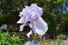 Iris et pneumatique pourpres - ressort photographie stock libre de droits