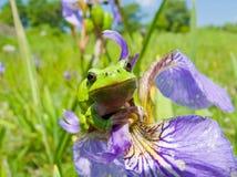 iris för 3 hyla Royaltyfria Bilder