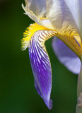 iris för detaljblommatysk Royaltyfri Bild
