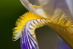 iris för detaljblommatysk Arkivfoto