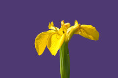 Iris för gul flagga Fotografering för Bildbyråer