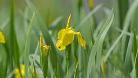 Iris Iris för gul flagga pseudacorus, lös blomma Royaltyfri Bild