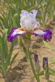 Iris field in Keizer Oregon. Stock Image