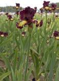 Iris field in Keizer Oregon. Stock Images