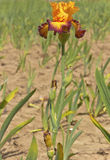 Iris field in Keizer Oregon. Royalty Free Stock Photo