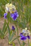 Iris field in Keizer Oregon. Royalty Free Stock Photos