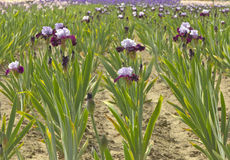 Iris field in Keizer Oregon. Royalty Free Stock Photography