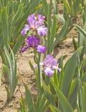 Iris field in Keizer Oregon. Royalty Free Stock Photography