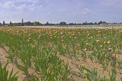 Iris field in Keizer Oregon. Stock Photos