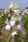 Iris field in Keizer Oregon. Stock Image