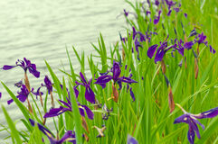 Iris flavors Royalty Free Stock Image