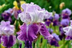 Iris Flip Flower barbuda imágenes de archivo libres de regalías