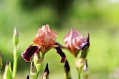Iris floreciente Imágenes de archivo libres de regalías