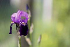 Iris floreciente Imagenes de archivo