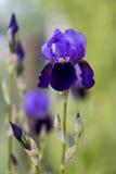 Iris floreciente Fotografía de archivo libre de regalías