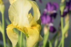 Iris floreciente amarillo hermoso fotografía de archivo libre de regalías