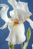 Iris Flower Stock Image