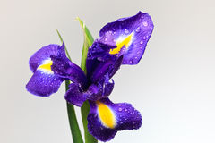 Iris flower Royalty Free Stock Photography