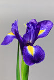 Iris flower. With drops of water on a white background stock photo