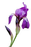 The Iris flower Stock Photos